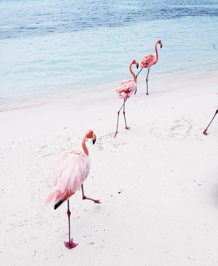Flamingos patrol up and down this holiday makers beach resort in White Sands in the Caribbean ❤