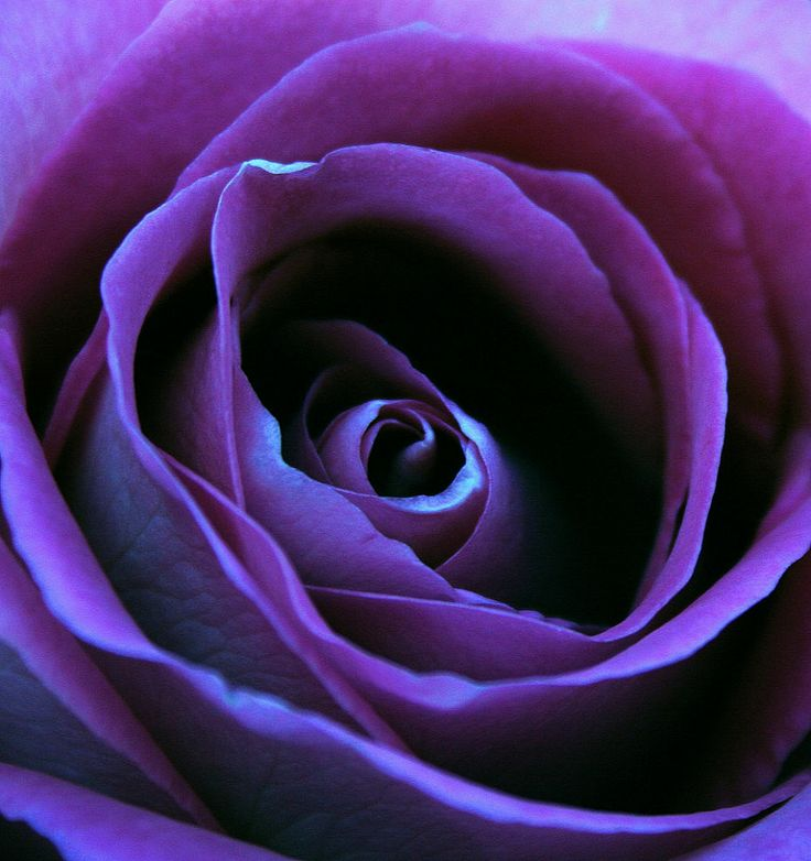 Purple rose...my favorite