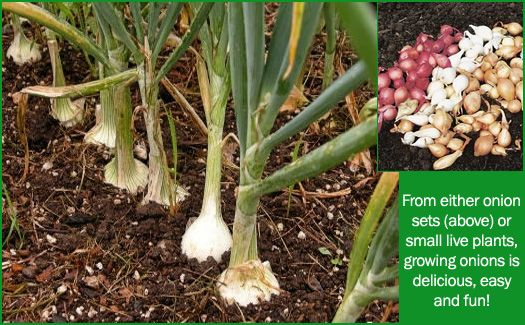 Onions Plant Earlier Than Last Year All Three Varieties