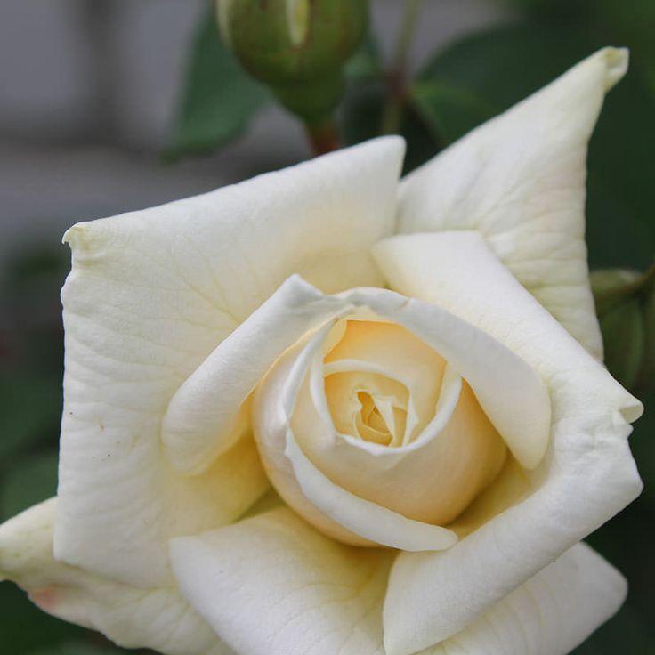 Обрезка чайно-гибридных роз — FloweryVale.ru