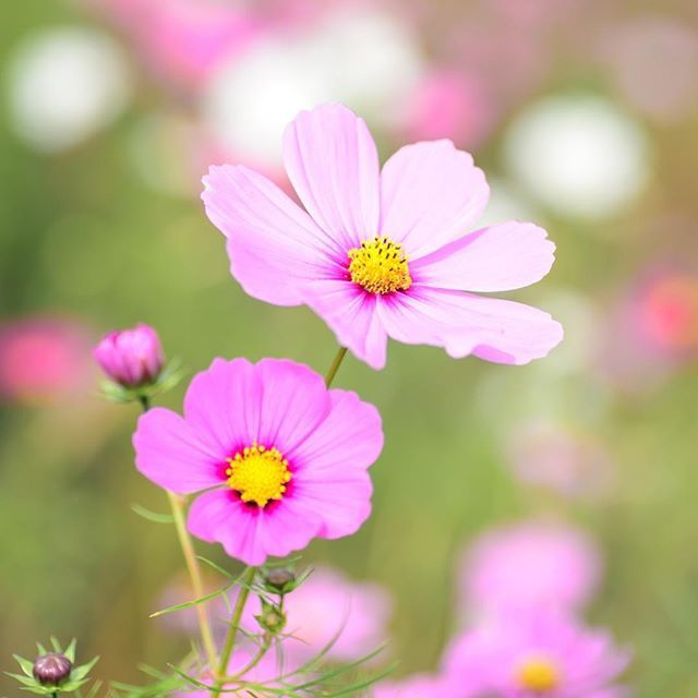 Beautiful Cosmos Flowers Look At Them And Feel How Your Heart Opens And How You Are Ready To Express Yourself Free Cosmos Flowers Flower Essences Tall Flowers