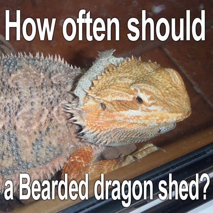 How often should your Bearded dragon shed? #beardeddragonpet