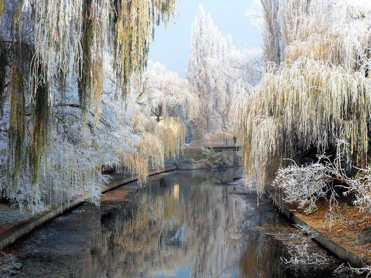 Willows in winter, Bekescsaba, Hungary