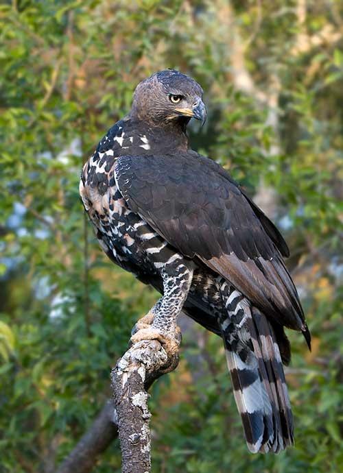 Crowned eagle aka African Crowned Eagle, sub-Saharan Africa
