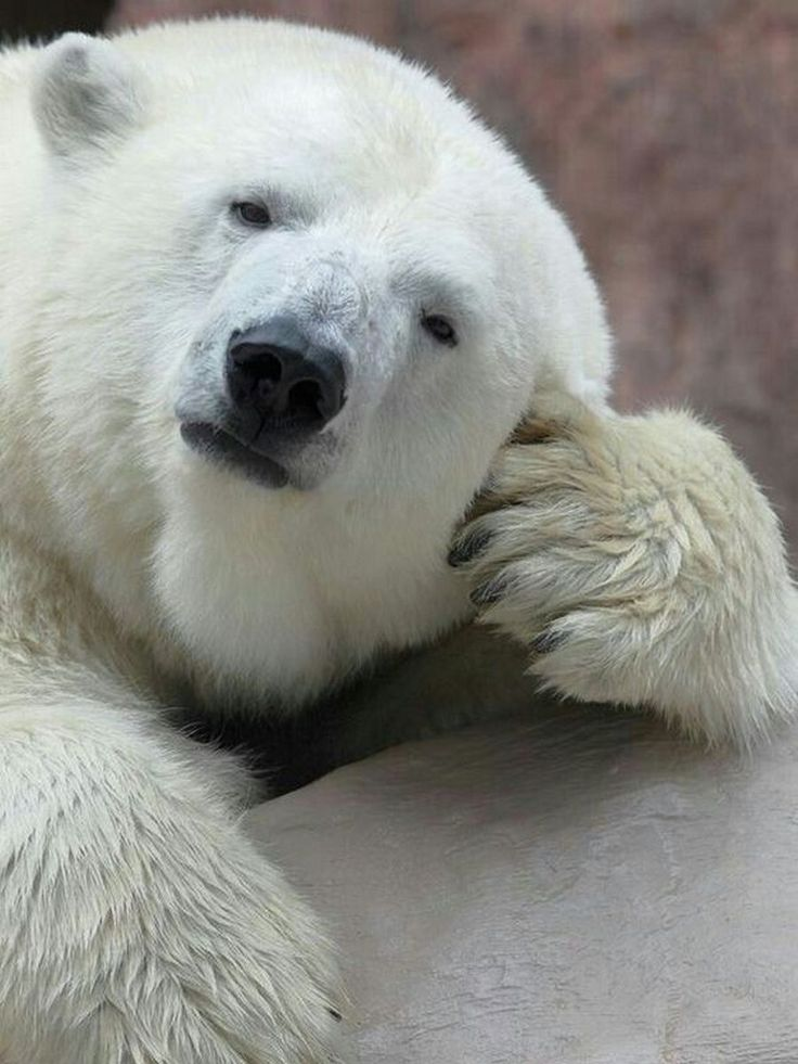 множество смешная картинка белого медведя переводится как карминовая