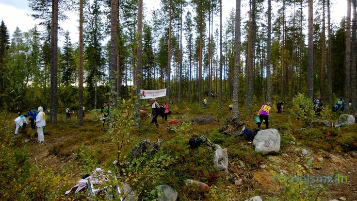 Berry Picking World Championships 2013 in Suomussalmi