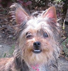 Daphne is an adoptable Yorkshire Terrier Yorkie Dog in Austin, TX. 5.5 months, 5.5 pounds� (5/23/13) BUSY GIRL! Little Daphne is most likely a mixture of Yorkie and Chihuahua, a Chorkie. She is very m...