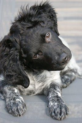 Stabyhoun Frisian Pointer
