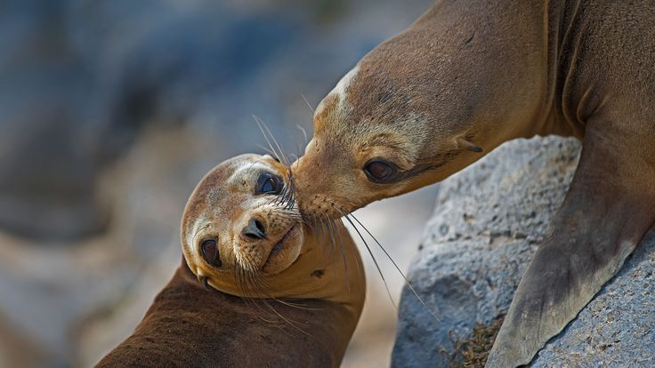 Galápagos sea lion mother and pup on Floreana Island, Ecuador (© Tui De Roy/Minden Pictures) – 2015-09-03  [http://www.bing.com/search?q=Galapagos+sea+lion&form=hpcapt&filters=HpDate:%2220150903_0700%22]