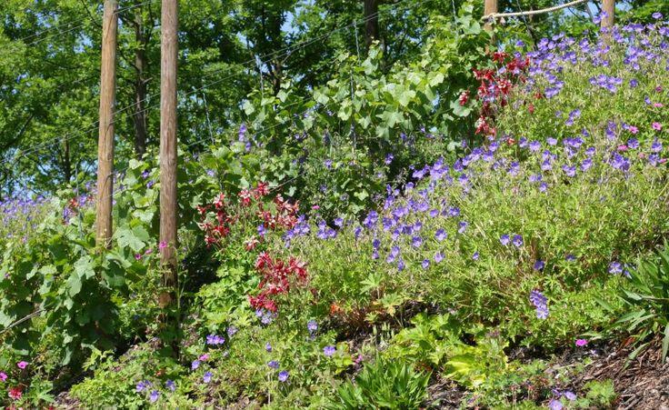 Farbenfrohe Ergänzung zu jedem Hangbeet: Storchschnabel, Geranium und Akelei geben schöne Farbtupfer am Hang