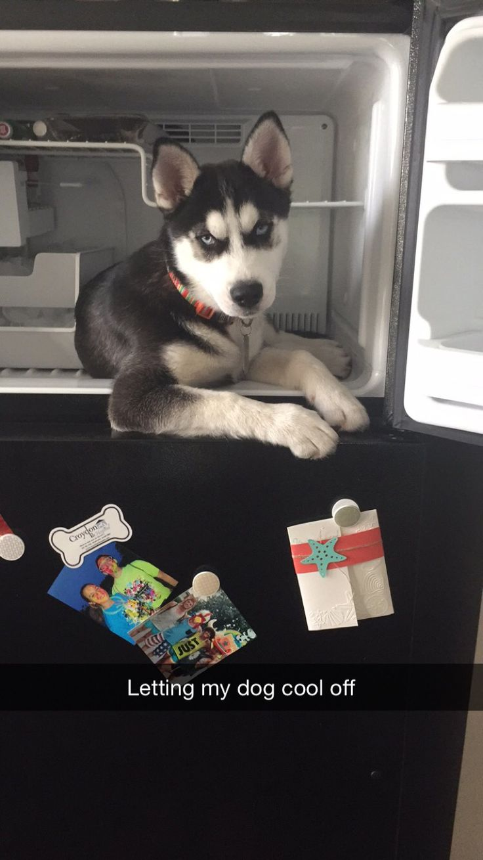 #husky #huskypuppy #siberianhusky #freezer
