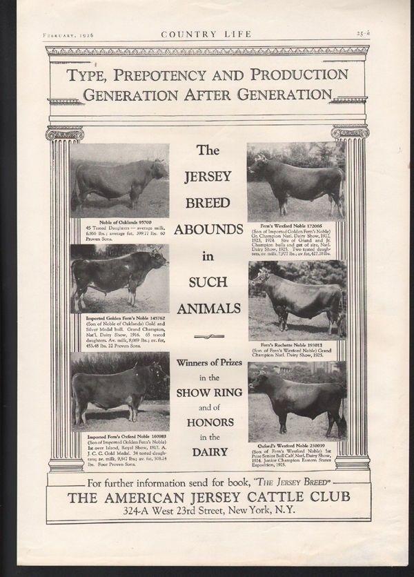 1923 AMERICAN JERSEY CATTLE FARM MILK BEEF STOCK BARN BULL SIRE BREED AD22597