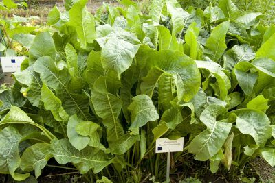 Horseradish Plant Companions: What Grows Well With Horseradish Plants - Fresh horseradish is absolutely delicious and the good news is it's easy to grow your own. It is also healthy so companion plants for horseradish might get a huge benefit. Find out about companion planting with horseradish in this article.