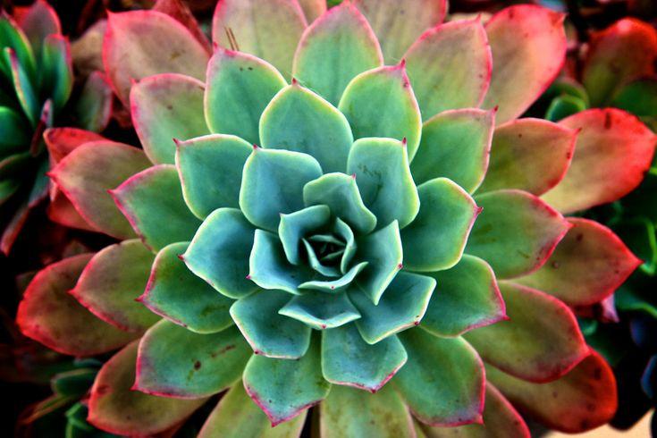 showcase succulent   Flickr - Photo Sharing!