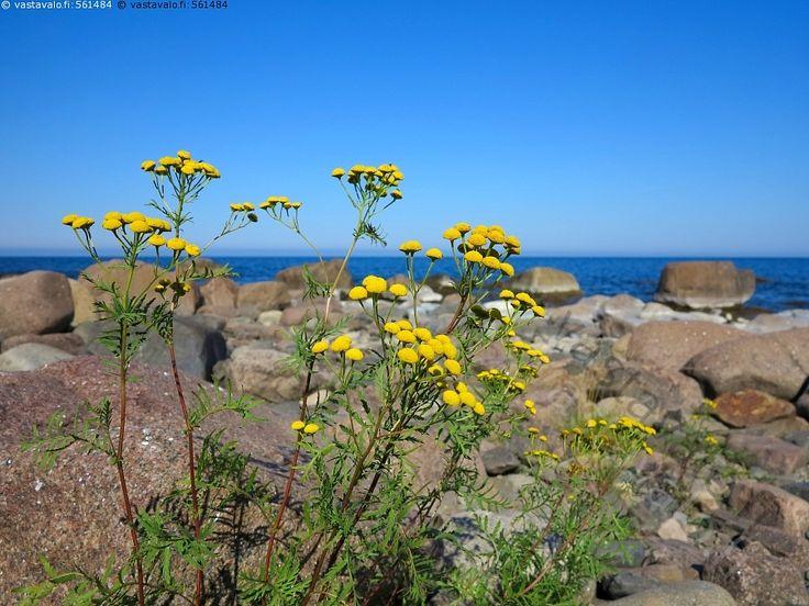 Kallansaaren kivikkoa ja keltakukat - Perämeri Itämeri Kalla saari vesi…