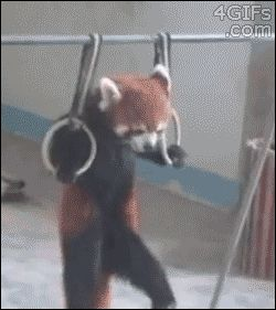 Funny Gif: Just A Red Panda Doing Pull-Ups