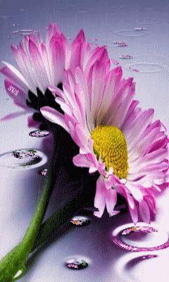 Gif Paradise — Margaritas rosadas compartida por Mariana Leon .