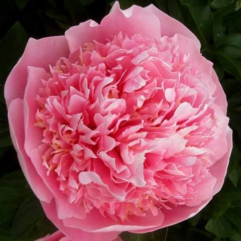 Peony 'Etched Salmon'