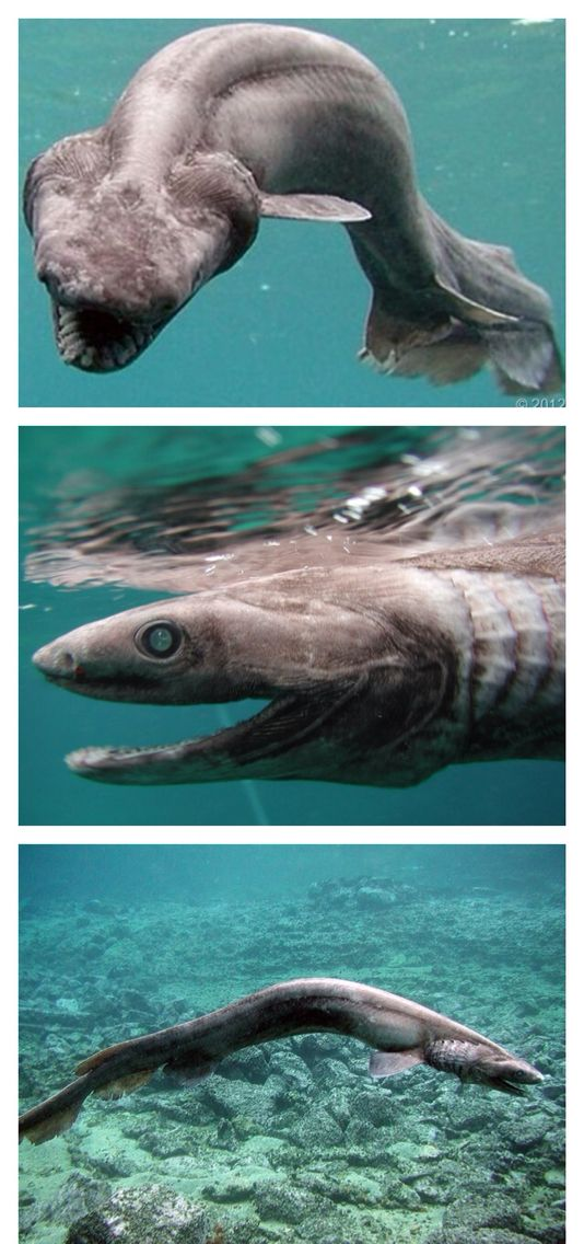 "Frilled Shark — In 2007, a fisherman near Tokyo, Japan, told Awashiwa Marine Park officials that he'd just seen a very unusual eel-like creature with needle-sharp teeth. Staff at the park followed the fisherman, who directed them to the 5-foot-long oddity. They caught the creature, which was later identified as a frilled shark. Scientists who buy evolution had assumed this species had been extinct for millions of years. It has been termed by many to be a ""Living fossil"".  I believe God…"
