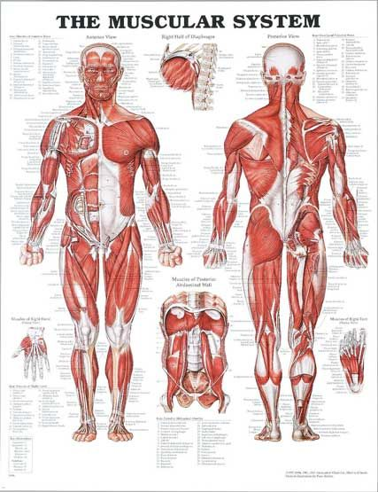 The Muscular System! Come to Pressure Point Massage Therapy in Southfield, MI for a FANTASTIC massage! Call us NOW at (248) 358-8800 to book your appointment! Feel free to visit our website www.pressurepointmassagetherapy.com for more information!