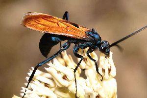 New Mexico state insect- tarantula hawk wasp