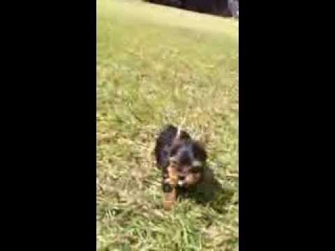 Criadero de Yorkshire Terrier Criadero de Yorkys Terrier Criadero en Guadalajara de Yorkshire Terrier