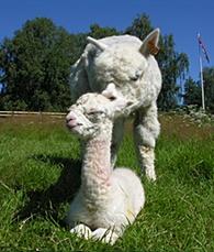 En av våre favorittbilder av alpakka :-)  Juanita har på bildet nettopp blitt mor til Prince Braveheart :-)