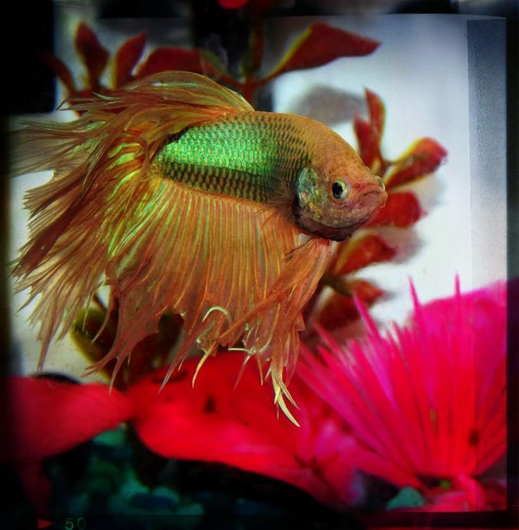 197 best images about betta splendens on pinterest red for Betta tropical fish