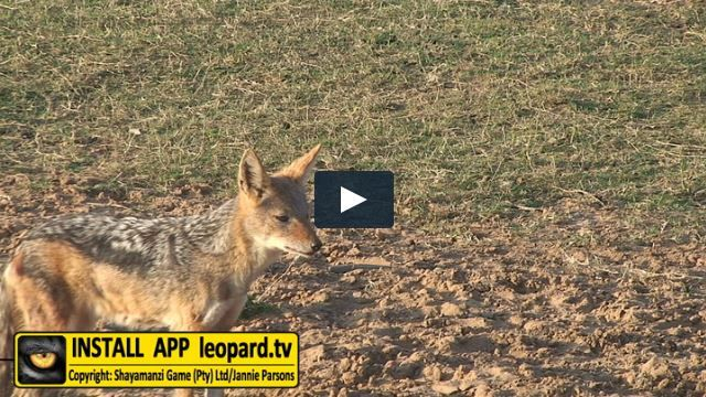 With the laughing call of the spotted hyaena and the haunting call of the fish-eagle, the yapping howl of the black-backed jackal is part of the mystique of the African night without which a campfire will never be complete. Watch the video and hear the yapping howl of the black-backed jackal... #Africa #leopardtv #nature