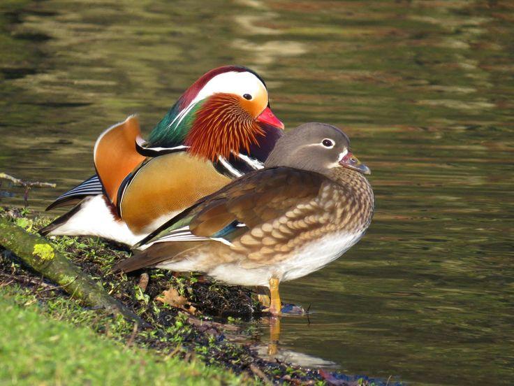 Mandarijn Eend (Van vroegevogels)