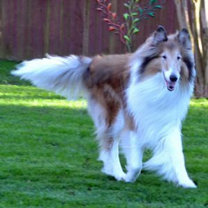 Laddie 2 « Collie Rescue of the Carolinas