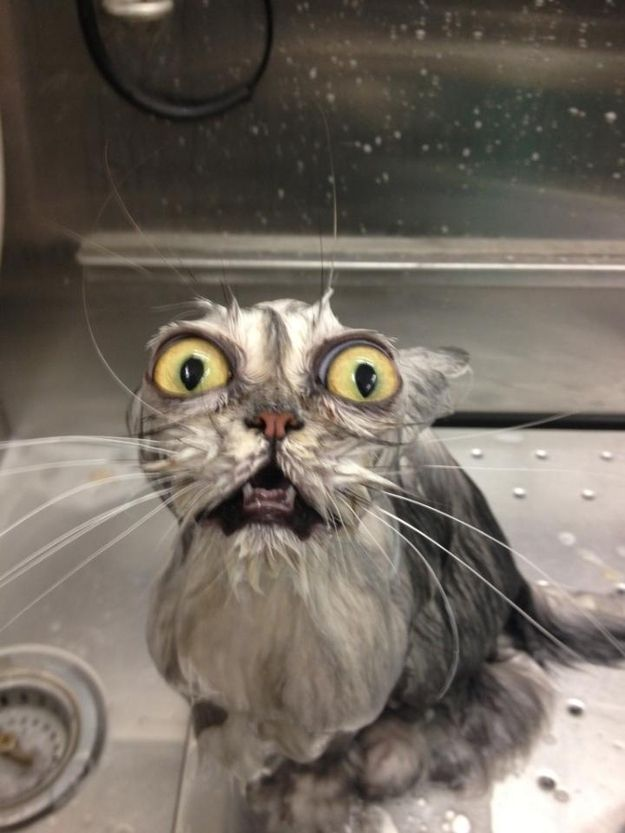 This cat who decided he'd let the human give him a bath for once. | 27 Cats That Immediately Regret Their Decisions