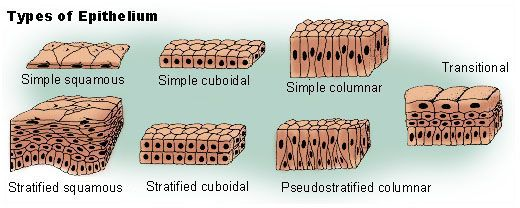 This illustration shows the three principal classifications associated with epithelial cells. Squamous epithelium has cells that are wider than they are tall. Cuboidal epithelium has cells whose height and width are approximately the same. Columnar epithelium has cells taller than they are wide. There are pictures of each of these types of epithelium: simple squamous, simple cuboidal, simple columnar, stratified squamous, stratified cuboidal, pseudostratifed columnar, and transitional.
