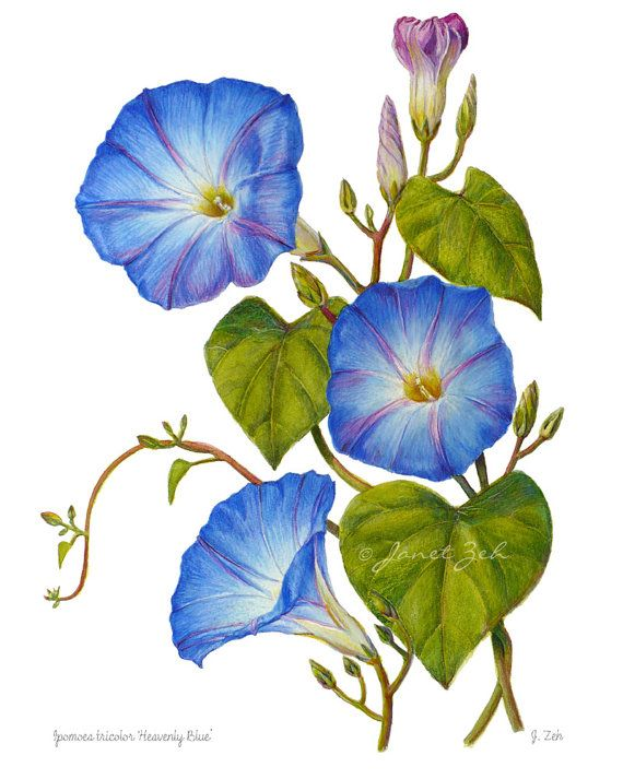 Morning Glories Botanical Print Blue Flowers Unframed Wall Art by Janet Zeh