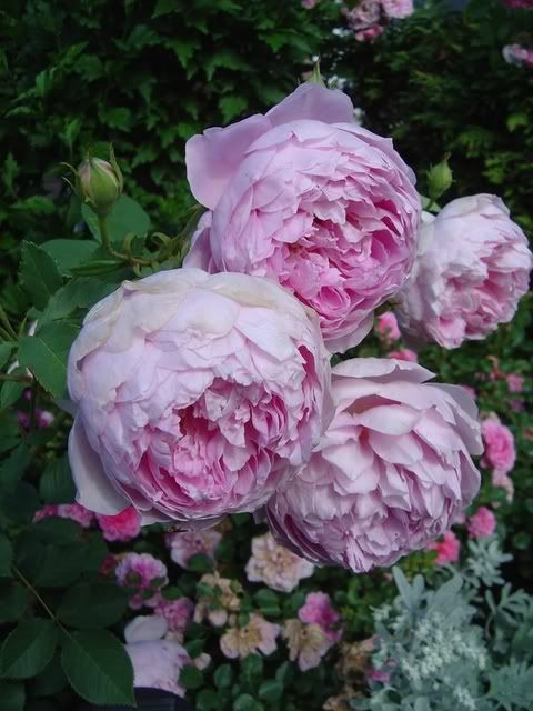1270 Best Images About English Roses On Pinterest | Celebrations