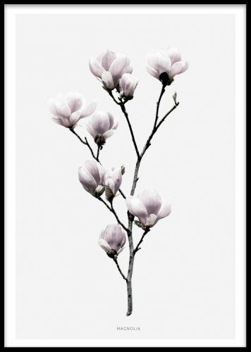 Magnolia, poster. Poster med fotografi på Magnolia. Fin poster/tavla med botaniskt fotografi på en magnolia blomma. Postern har grå bakgrund med en vit kant. Matchar fint med vår andra botaniska tavla med fotografi på en lotusblomma i samma serie, passar