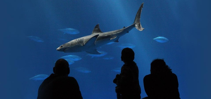 Must see a Great White shark on exhibit at the Monterey ...