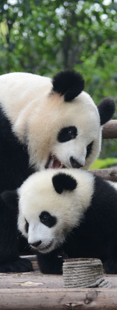 Absolute Panda is a China based travel company which provides the information about pandas and other animals in China. We also focused on wild life photography & wild trips in china.