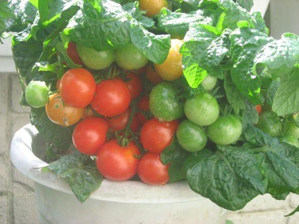 ―(続) 種から育てる新プランタートマト栽培ー - 新プランター野菜栽培への誘い