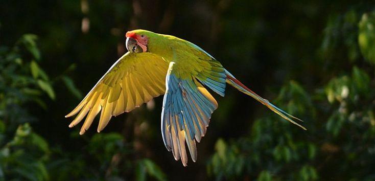 Victimes du braconnage, deux espèces de perroquets viennent de faire leur entrée sur la liste desanimauxen voie d'extinction.