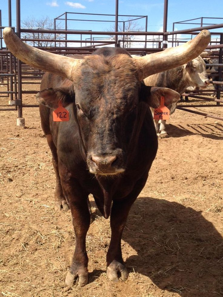 Chad Berger Bucking Bulls has named this bull Cooper Tires Semper Fi in honor of the USMC for all of their service.