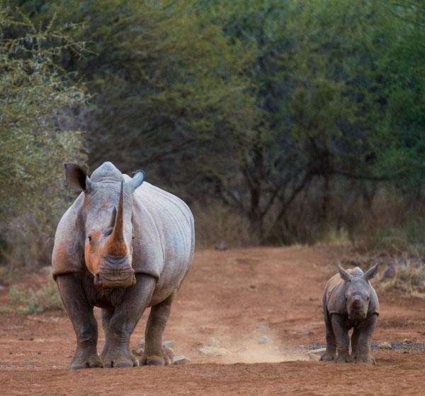 Photographic safari | Rhino and baby | Lawrence Gobetz