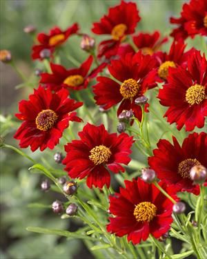 Coreopsis 'Caliente' - 12-18 inches