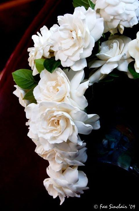 Most beautiful fragrance and lush cream petals