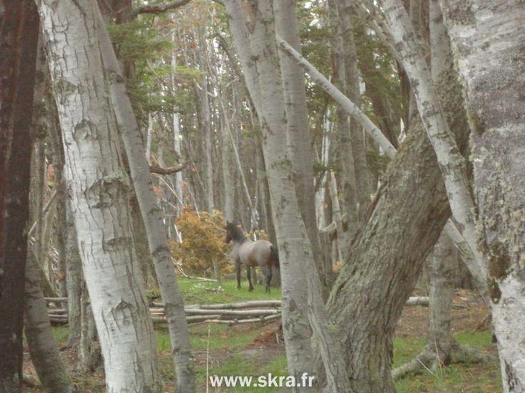 Cheval dans les forêts de la Terre de Feu à Ushuaia, Patagonie