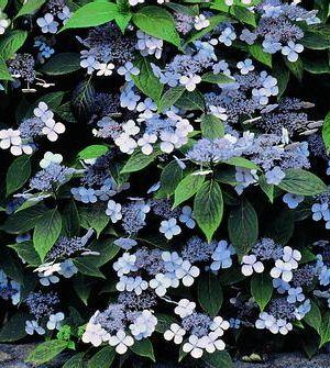 HYDRANGEA SERRATA 'BLUEBIRD' (is een breed opgaande lacecap hortensia met etagevormende groeiwijze)