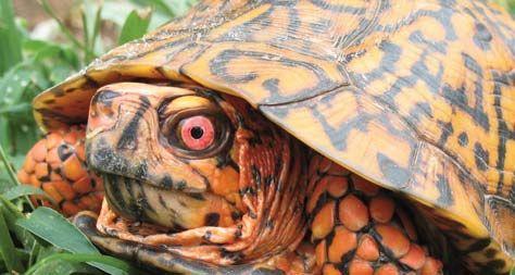 Eastern Box Turtle (from NC WINS) | NCpedia | Eastern box ...
