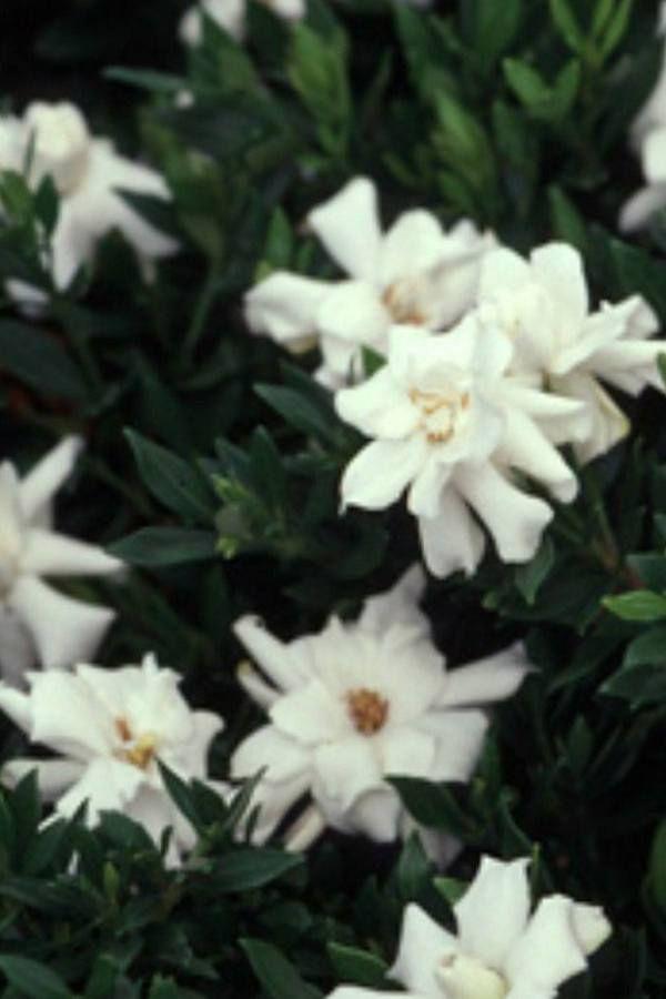 Buy Radicans Gardenia Bush Hedge Green Foliage White Blooms