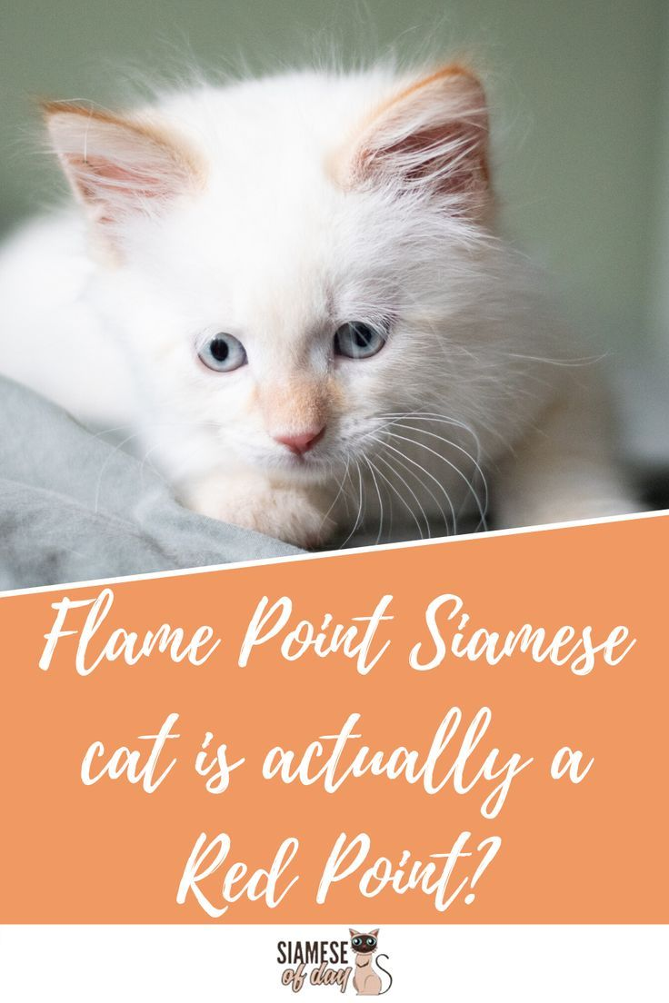 Long Hair Flame Point Siamese Cats Siamese Cats Siamese Kittens Cats