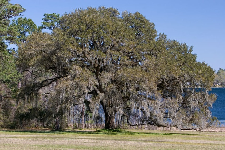 live oak tree pictures | Amazing Pictures: Live Oak Tree Florida